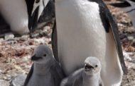 Hoy se abre la campaña de apadrinamiento de pingüinos